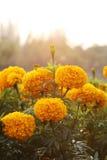 Nagietków kwiaty Fotografia Royalty Free