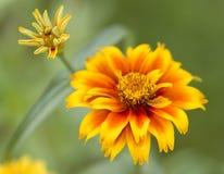 Nagietków kwiaty zdjęcia stock