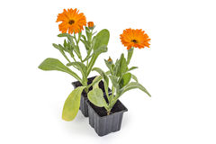 Nagietków kwiaty Obrazy Stock