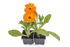 Nagietków kwiaty Obraz Stock