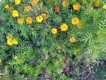 Nagietków kwiaty obraz royalty free