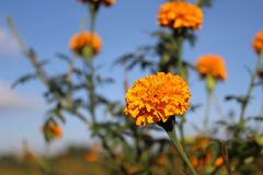 Nagietków kwiaty lub w okolicy znać jak zdjęcia stock