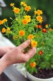 Nagietków kwiaty w balkonu ogródzie Zdjęcia Stock