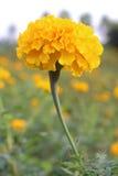 Nagietka żółty kwiat Fotografia Royalty Free