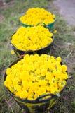 Nagietka żółty kwiat Obraz Royalty Free