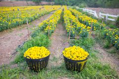 Nagietka żółty kwiat Obrazy Stock