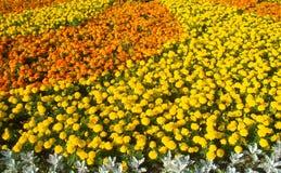 Nagietka flowerbed Fotografia Royalty Free