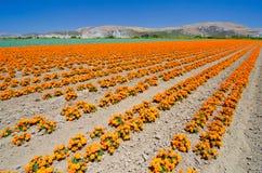 Nagietka gospodarstwo rolne w Kalifornia Fotografia Royalty Free