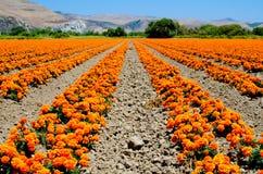 Nagietka gospodarstwo rolne w Kalifornia Zdjęcia Stock