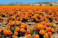 Nagietka gospodarstwo rolne w Kalifornia Zdjęcie Stock