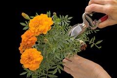 Nagietka i ogródu pruner w ręce Obrazy Stock