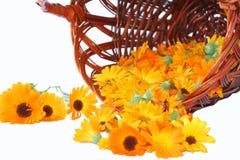 nagietka kolor żółty Obraz Royalty Free