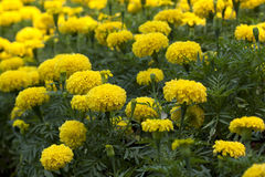 nagietka kolor żółty Obrazy Stock