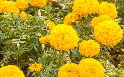 Nagietka kolor żółty w ogródzie dla tło projekta fotografia royalty free