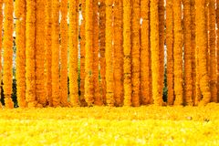 Nagietka koloru żółtego kwiaty Zdjęcie Royalty Free