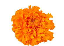 Nagietka kwiat Obrazy Royalty Free