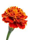 Nagietka kwiat Zdjęcia Stock