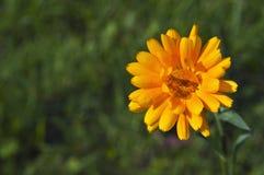 Nagietka kwiat Zdjęcie Stock