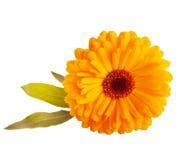 Nagietka kwiat Fotografia Royalty Free
