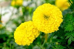 Nagietka kwiat na drzewie Obrazy Stock