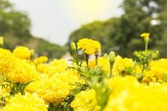 Nagietka kwiat, nagietka kwiat Obrazy Royalty Free