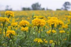 Nagietka kwiat w ogródzie Obraz Royalty Free