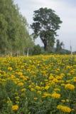 Nagietka kwiat w ogródzie Zdjęcie Stock