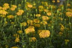 Nagietka kwiat w ogródzie Zdjęcia Royalty Free