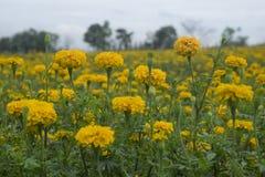 Nagietka kwiat w ogródzie Zdjęcie Royalty Free