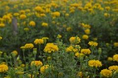 Nagietka kwiat w ogródzie Obraz Stock
