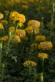 Nagietka kwiat w ogródzie Fotografia Stock