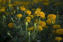 Nagietka kwiat w ogródzie Obrazy Royalty Free
