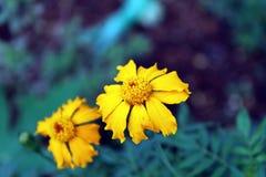Nagietka kwiat w Pogodnym Czy Zdjęcie Royalty Free