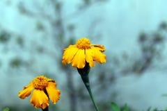 Nagietka kwiat w Pogodnym Czy Obraz Stock