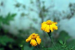 Nagietka kwiat w Pogodnym Czy Obraz Royalty Free