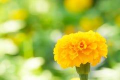 Nagietka kwiat z bokeh Zdjęcie Stock