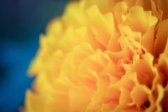 Nagietka kwiat z bokeh Fotografia Stock