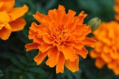 Nagietka kwiat z fałdowymi płatkami Obrazy Stock