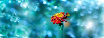 Nagietka kwiat z wodnymi dropws W ogródzie nagietka kwiat Fotografia Royalty Free