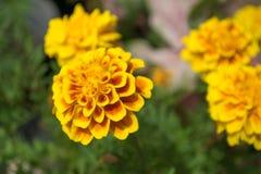 Nagietka kwiat, zbliżenie Fotografia Stock