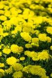 Nagietka kwiatu okwitnięcie w ogródzie Zdjęcia Royalty Free