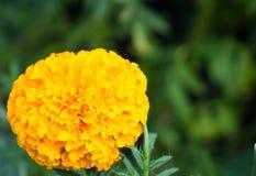 Nagietka kwiatu okwitnięcie w ogródzie Obrazy Stock