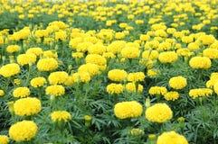 Nagietka kwiatu pole Zdjęcie Stock