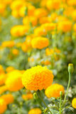Nagietka kwiatu pole Zdjęcia Stock