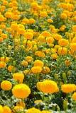Nagietka kwiatu pole Obrazy Stock