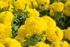 Nagietka kwiatu zbliżenie Zdjęcie Stock