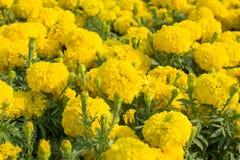 Nagietka kwiatu zbliżenie 3 Zdjęcie Royalty Free