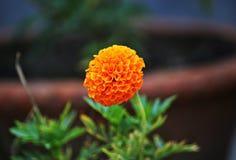 Nagietka ogrodnictwa pomysły obraz royalty free