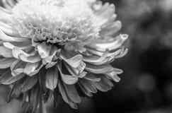 Nagietka piękny kwiat obrazy stock