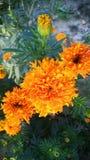 Nagietka Tagetes lub kwiatu nagietki calendula officinalis, caltha, ganda lub gols kwitną złocistego kwiatu lub uprawiają ogródek Zdjęcie Stock